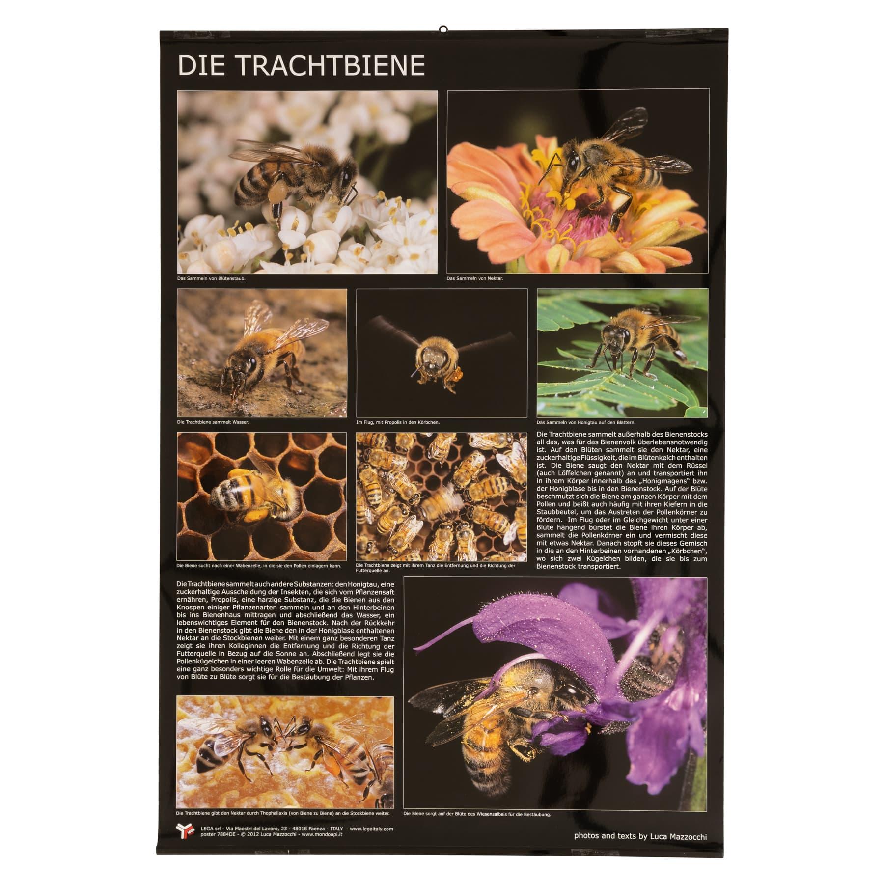 """Plakat/Poster """"Die Trachtbiene""""  60 cm breit 90 cm hoch"""